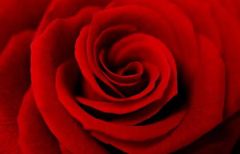 Close-up photograph of a rose representing love & respect