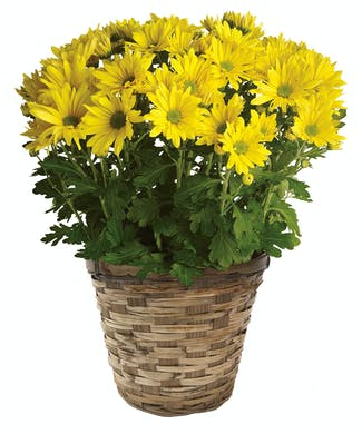 Fall Daisy Mum Pot